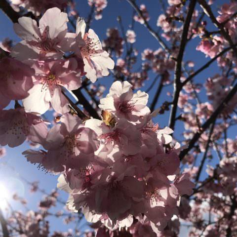 今が旬!河津桜!